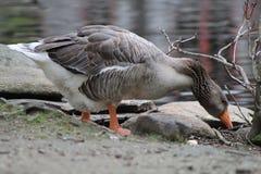 Duck Time Temps de casse-croûte Image stock
