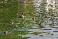 Duck and tiny ducklings Royalty Free Stock Photo