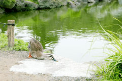 Duck is tired near the pond Royalty Free Stock Photo