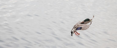 Duck about to land on smooth water. Mallard Duck about to land on top the smooth water Royalty Free Stock Images