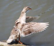 Duck. This duck is about to take a swim Royalty Free Stock Photos