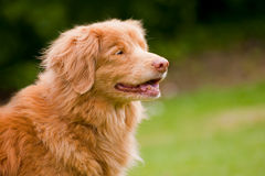 Duck tolling retriever Royalty Free Stock Photo