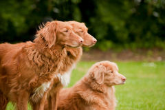 Duck tolling retrievers Stock Images