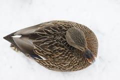 Duck Top View Royaltyfri Foto