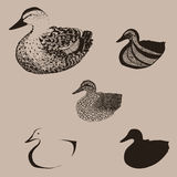 Duck transformation Stock Images
