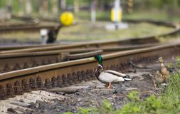 Duck travels. Duck ducks moving along the railway line Stock Photos