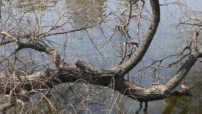 Duck on a tree over water stock footage