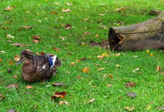 A duck with a tuft. Beautiful variegated duck with a tuft lies on the green grass, the lawn among fallen leaves Stock Photo