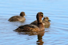 The duck tufted duck with ducklings Royalty Free Stock Photo
