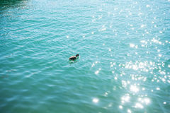Duck in turquoise water pair swimming in lake. Blue Royalty Free Stock Photo