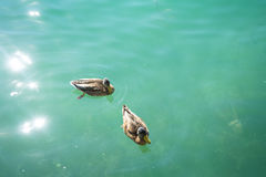 Duck in turquoise water pair swimming in lake. Blue Royalty Free Stock Image