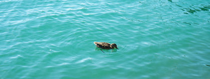 Duck in turquoise water pair swimming in lake. Blue Stock Photography