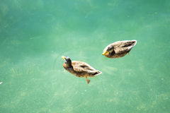 Duck in turquoise water pair swimming in lake. Blue Royalty Free Stock Photography