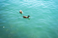 Duck in turquoise water pair swimming in lake. Blue Stock Photos