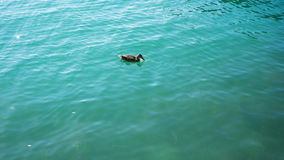 Duck in turquoise water pair swimming in lake. Blue Stock Photo
