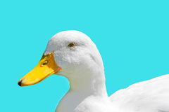 Duck on turquoise Stock Photo