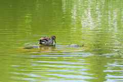 Duck and turtle Royalty Free Stock Photography