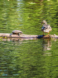 Duck and turtle on the log in the pond,  looking at each other Royalty Free Stock Photos