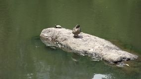 Duck and Turtle. A duck and a turtle on a rock, in Central Park stock video footage