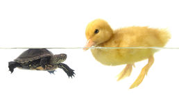 Duck  and turtle Stock Images