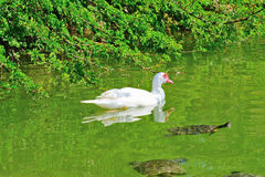 Duck and turtles in a green pond. Muscovy duck and turtles in a green pond Stock Images