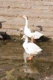 Duck Twentee Foto de Stock Royalty Free