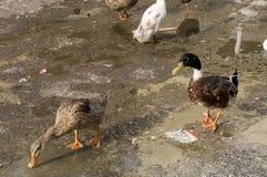 Duck Twenty Five imagens de stock