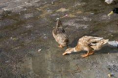 Duck Twenty Six Fotos de Stock