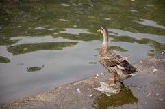 Duck Twenty Three fotos de stock royalty free