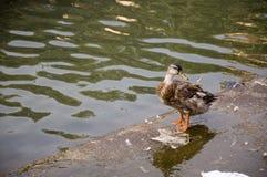 Duck Twenty Two Imagem de Stock