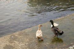 Duck Twenty um Imagens de Stock Royalty Free