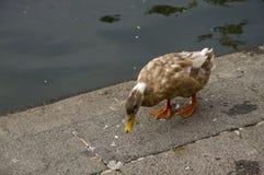 Duck Tweny Four imagem de stock