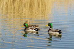 A duck and two Drake female and male Mallard duck lat. Anas platyrhynchos is a bird of the duck family Anatidae detachment o. F waterfowl Anseriformes floating Stock Photography