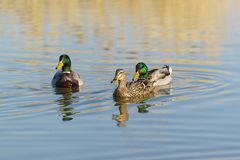 A duck and two Drake mallards lat. Anas platyrhynchos swim in the pond. In the sunset Stock Photo