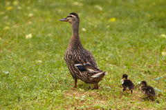 Duck with two duckling's Stock Photo