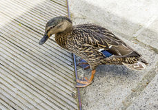 Duck Between Two Kinds of Surfaces:  Considering His Options Royalty Free Stock Photos