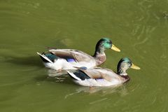 Duck. Two Mallard ducks on green water of a pond at automn Stock Photography