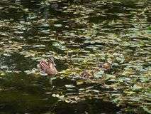 Duck with two young ducklings. In a pond royalty free stock photo