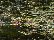 Duck with two young ducklings. In a pond stock photo