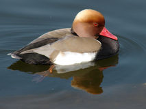 Duck- uma cabeça vermelha Fotografia de Stock Royalty Free