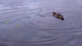 Duck In un primer 4K del río almacen de video