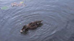 Duck In un primer 4K 2 del río almacen de video