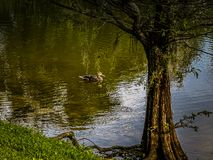 Duck Under a Cypress Tree. Scenic view of a solitary duck swims in a Florida pond with a cypress tree on the bank and Spanish moss hanging from the branches stock image