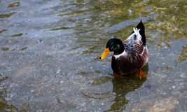 Duck. A very cute duck swimming in a lake Stock Photos