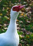 Duck. A very weird duck with a red head stock images