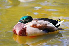Duck. View of the wild duck on a pond Stock Photography