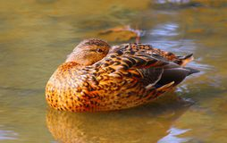 Duck. View of the wild duck on a pond Stock Photos