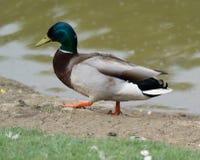 Duck Waddling Through Grass 1 Lizenzfreies Stockbild