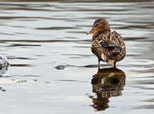 Duck wading in the water. A lone duck and its reflection in the rippling water as it wades in a lake Royalty Free Stock Image