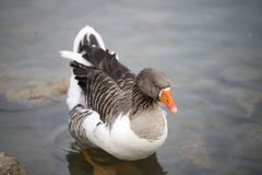 Beautiful a duck resting on the lake Royalty Free Stock Photos